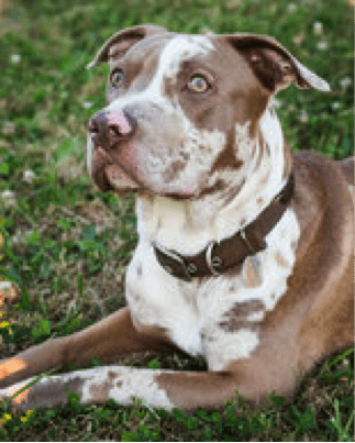 6 Month Old Pit Bull Undergoes Surgery After Fall From Window Compounded by Owner Neglect