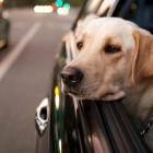 Should Your Dog Be Allowed to Ride Unrestrained?