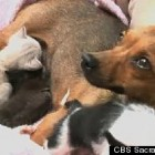 Chihuahua Nurses Her Two Pups and Two Orphaned Kittens