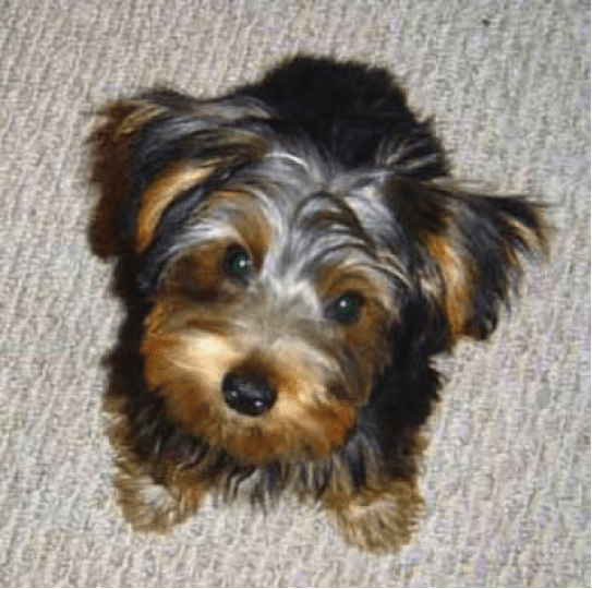 A Young Yorkie Returns Home After Being Stolen in Home Invasion