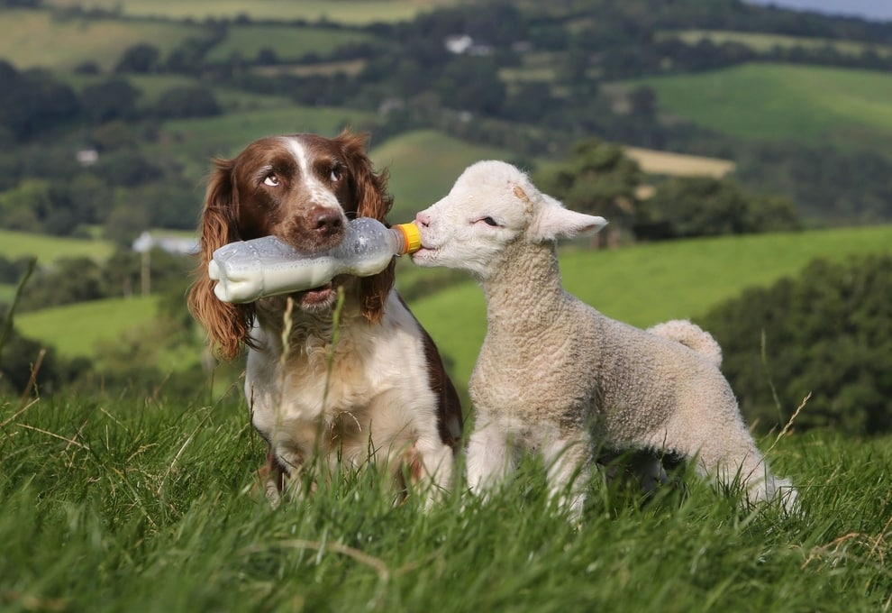 English Springer Spaniel is 'Mum' to Lambs