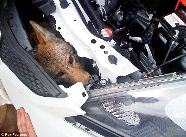 Coyote Survives 75mph Hit and Takes a 600 Mile Ride in Car Fender