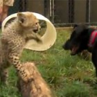 Cheetah Cub and Big Puppy Take Turns Pouncing