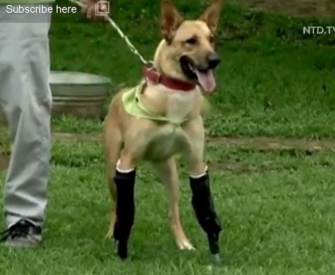 Dog Runs Again After Getting Artificial Legs