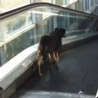 Dog Gets Confused on Escalator