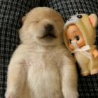 Dreaming Shiba Inu Puppy