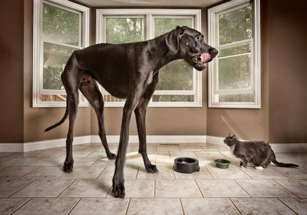 World's Tallest Dog: Profile on Zeus the Great Dane