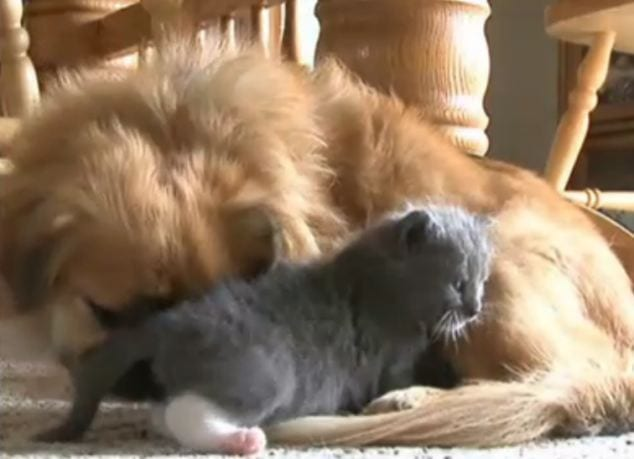 Family's dog steps up and starts nursing and caring for stray kitten