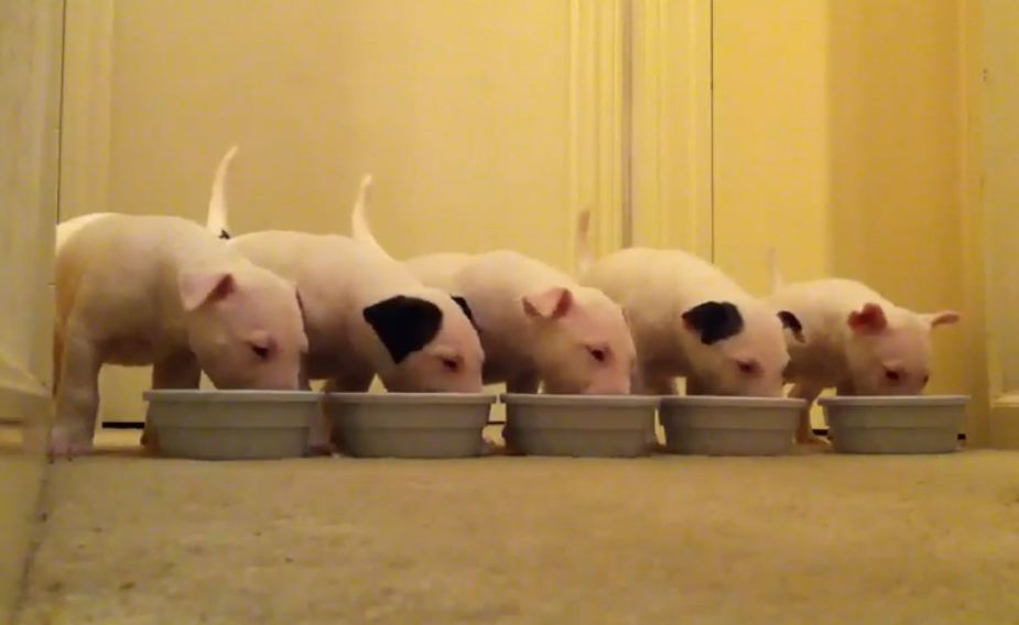English Bull Terrier Pups at Mealtime