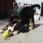 Puppy vs. Lemon