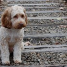 Loyal Dog Sacrifices His Own Life to Save Suicidal Man