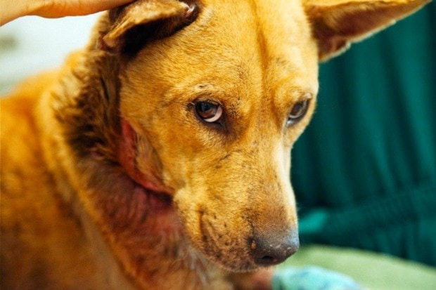 Starving Dallas Dog Recovering after Coffee Can Collar Removal