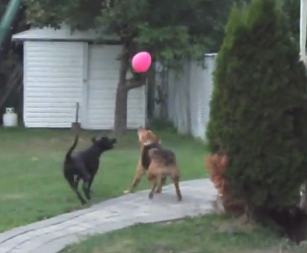 Cute Dogs Playing with Balloon