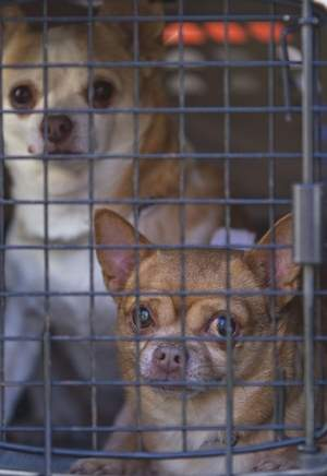 27 chihuahuas flown to new jersey where they hope to find new homes