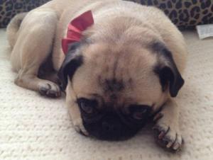 Pug Stolen in Burglary