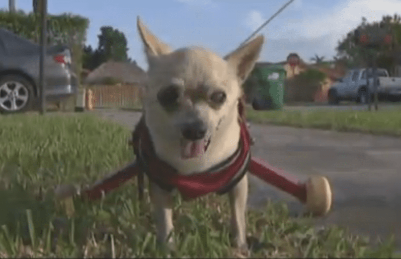 Dog who fell from a balcony getting around on new wheels