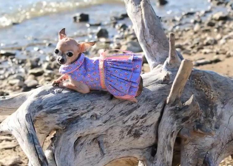 Emma: Cleft Palate Chihuahua