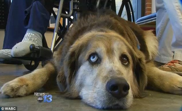 Devoted dog comes to the aid of her owner by calling 911