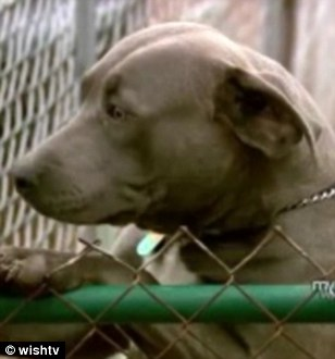 Pit Bull Stops Intruders from Stealing Baby