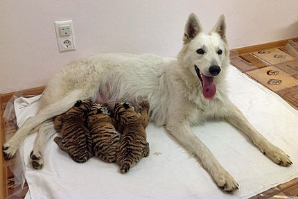 Dog Adopts Tiger Cubs Abandoned by Their Mother