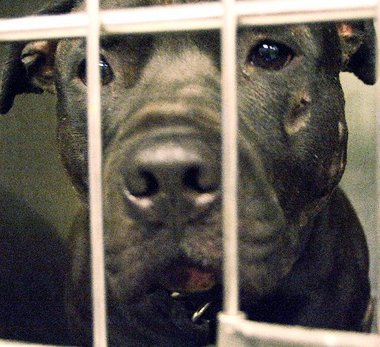80 Dogs Saved from Certain Death and Three Dog-Fighting Rings Busted