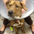 Abandoned Dog Left Bleeding after Home Neutering Job Recovering
