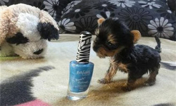 Cutest Dog In The World Guinness 2012 world's smallest dog saved from trash at the last second