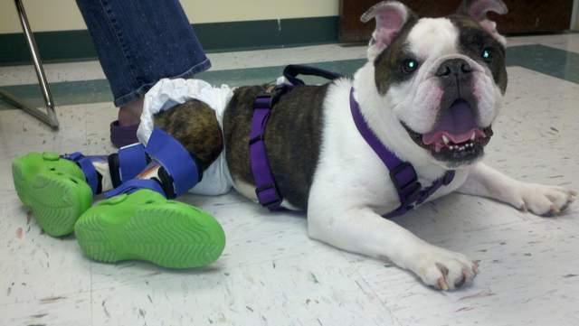 Paralyzed dog finally gets to go for a walk