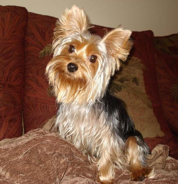 Missing Yorkie Bengi is Reunited With His Family