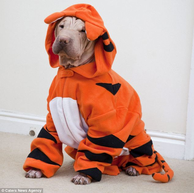 Dog who lost all her fur stays warm with a tiger onesie