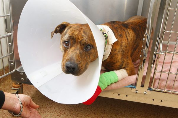 Dragged dog Gotti is healing and ready for a new home