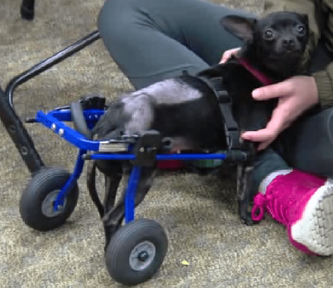 Paralyzed dog gets new wheels and now is looking for a home