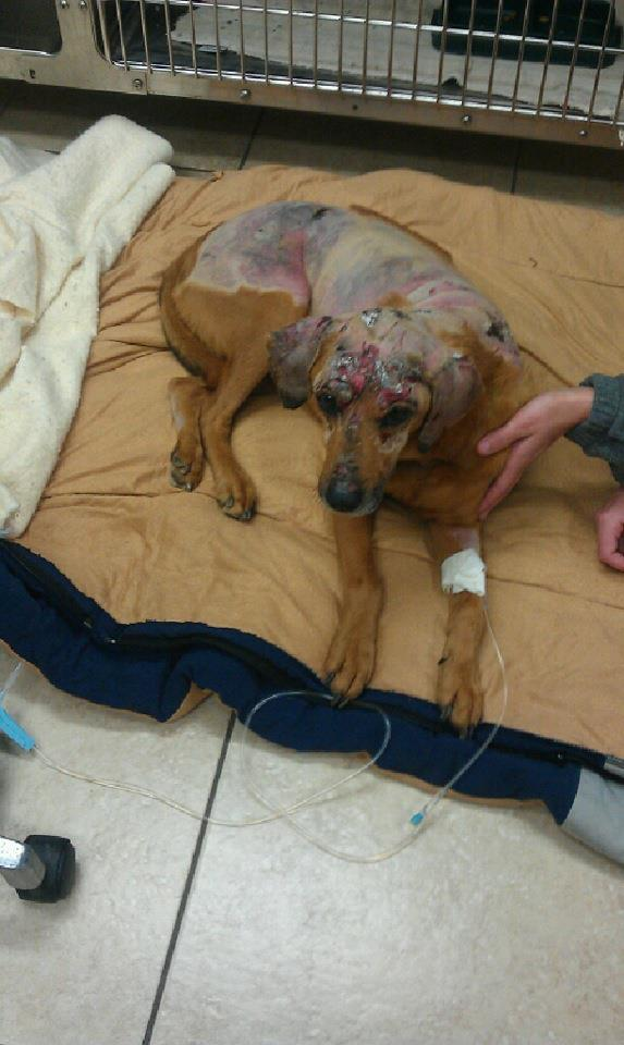 Dog barely makes it out of burning home and is now fighting for her life