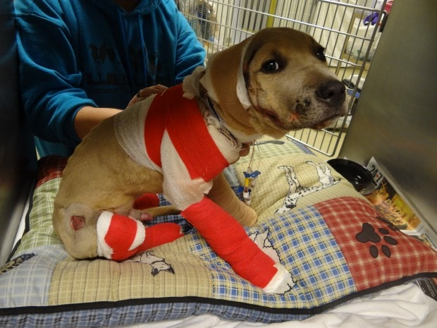 Puppy making improvements after being dragged behind a truck