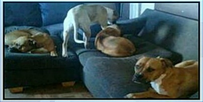 Owner Says Boxers Scheduled for Euthanasia were Defending Home from Trespassers