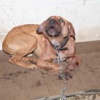 Seven dogs rescued from dog fighting ring