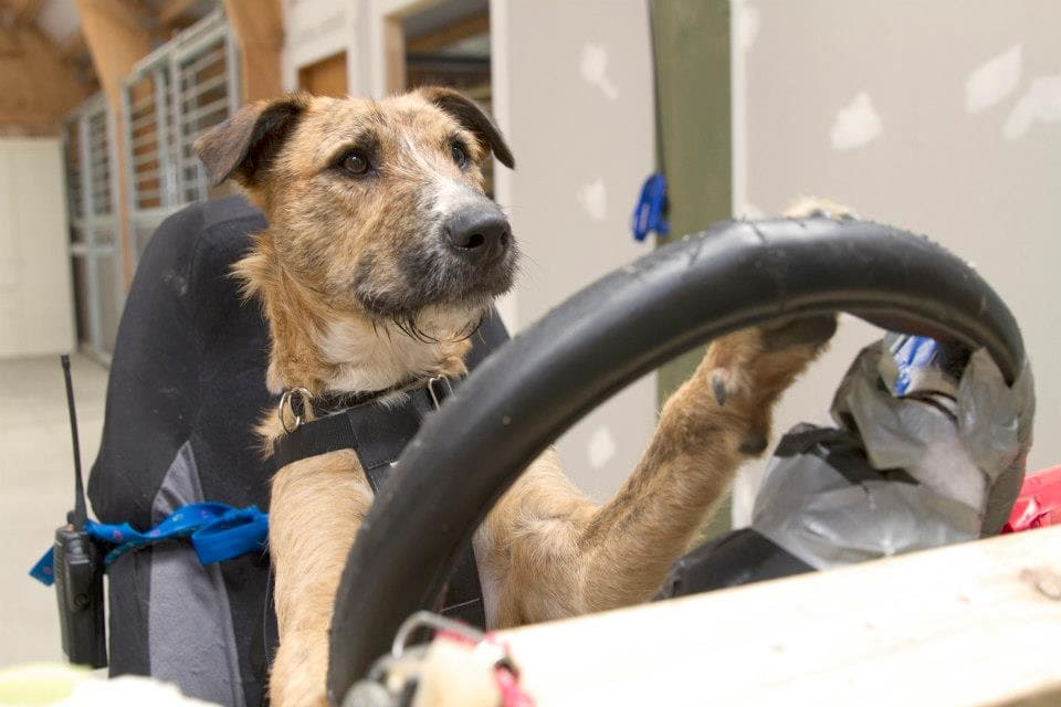Three shelter dogs learn to drive a car