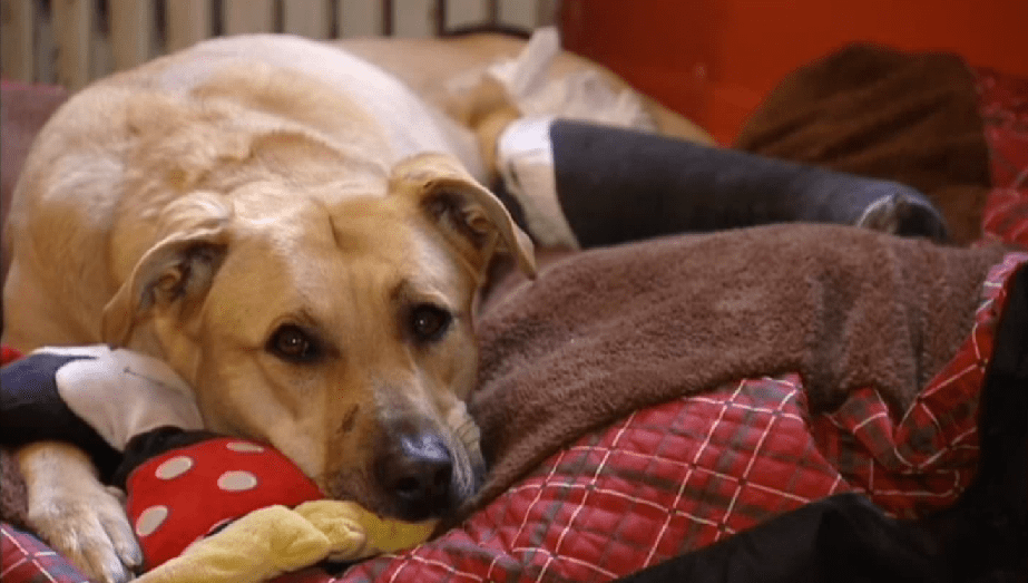 Dog rescued from highway needs surgery to save her leg