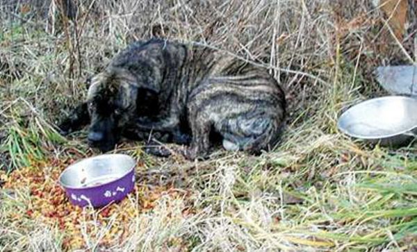 Abandoned mastiff was left at the side of a road, waiting for his owner to come back