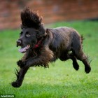 Cocker Spaniel becomes youngest dog in UK to get a full hip replacement