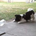 Puppy vs. Pop Bottle