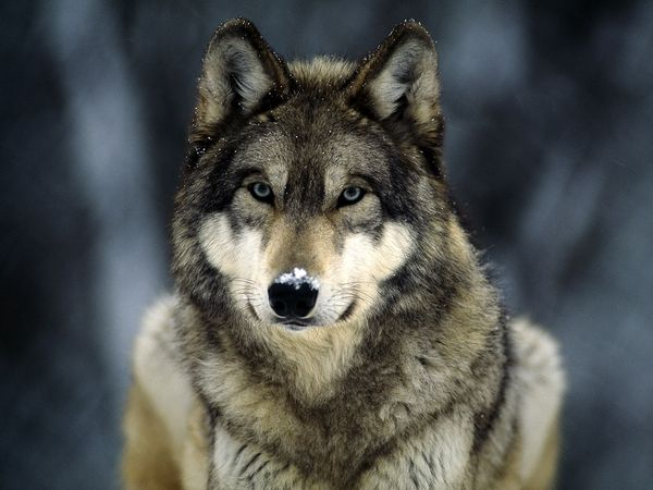 They are Dogs' Ancestors, So Why is there No Support for Wolves?