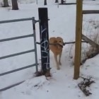 Dog Can't Get Stick Through Gate