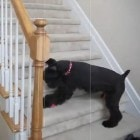 Dog Chases Laser Up and Down Stairs