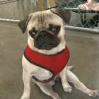 Tails of Hope – Pepe the Paralyzed Pug