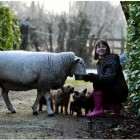 Timmy the sheep just wants to be one of the dogs