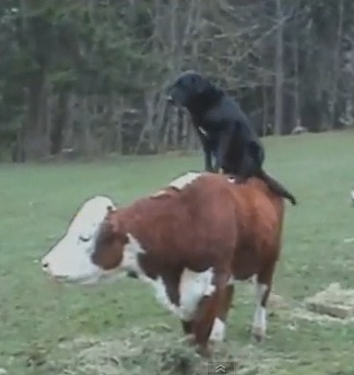 Rodeo Dog Rides on a Cow
