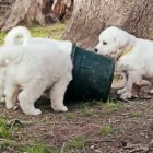 Great Pyrenees Puppies at Play