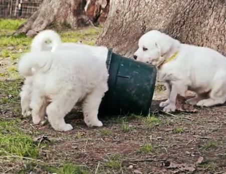 Great Pyrenees Puppies at Play