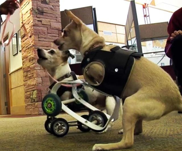 Kandu and Lucy: Armless Therapy Dogs